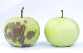 Bad apples made good: the immune system's secret weapon revealed