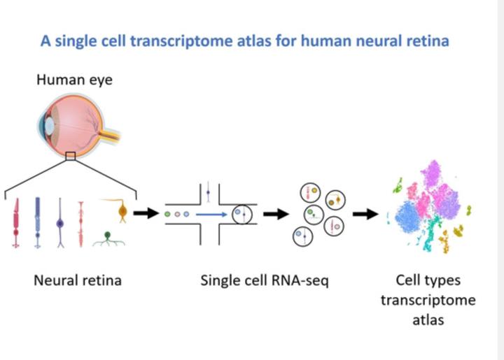 Retina Atlas.png