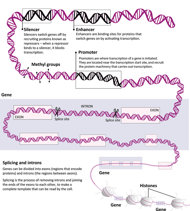 Anatomy of a gene A1.png