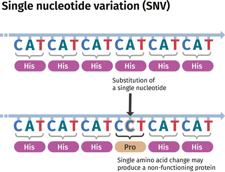 Types of DNA variant: small variants | Garvan Institute of